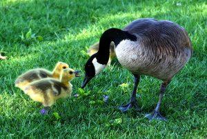 canada-goose-216003_960_720