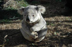 koala-bear-542390_960_720