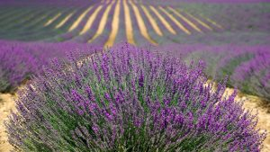 lavender-894919_960_720
