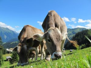 cows-cow-203460_960_720